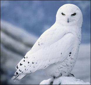 snowyowl_texel
